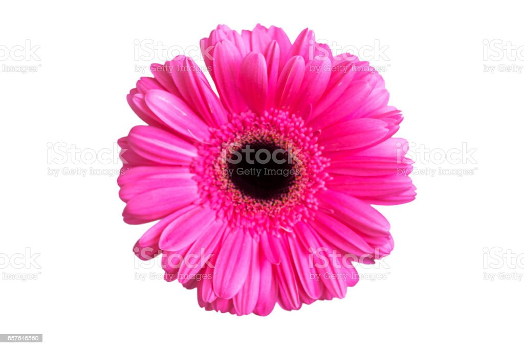 Pink gerber isolated on the white background stock photo