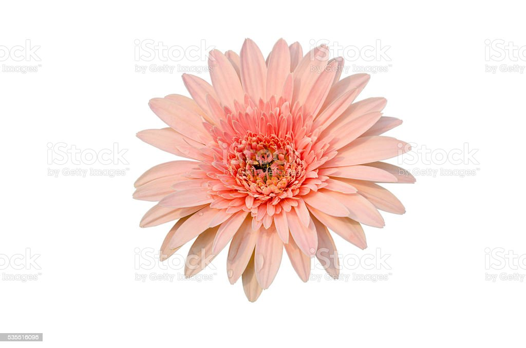 Pink Gerbera bloom Flowers isolated on white background. stock photo