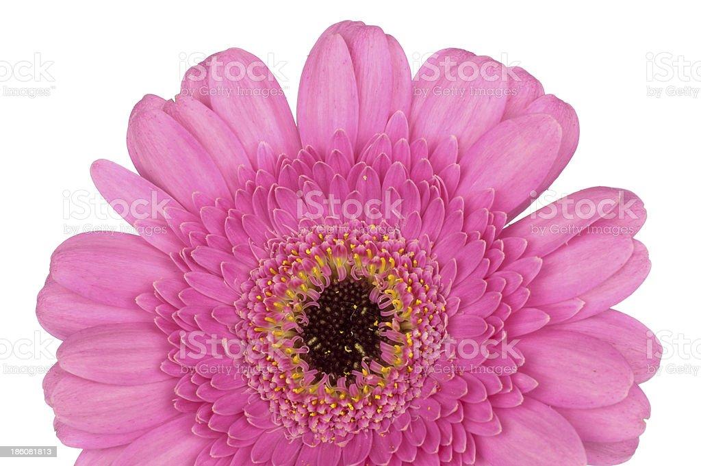 Pink Gerbera close up macro royalty-free stock photo