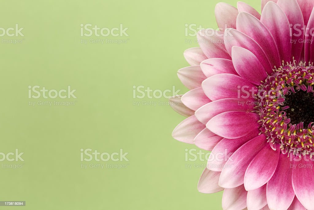 Pink gerbera daisy. Background Flower Green Red Macro stock photo