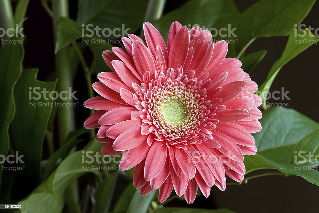 Pink Gerbera Daisy flower (clipping path) royalty-free stock photo