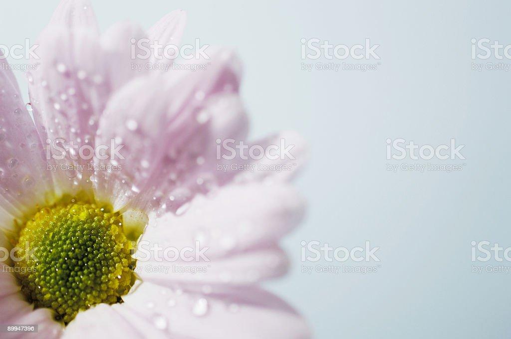 pink gerbera daisy flower stock photo