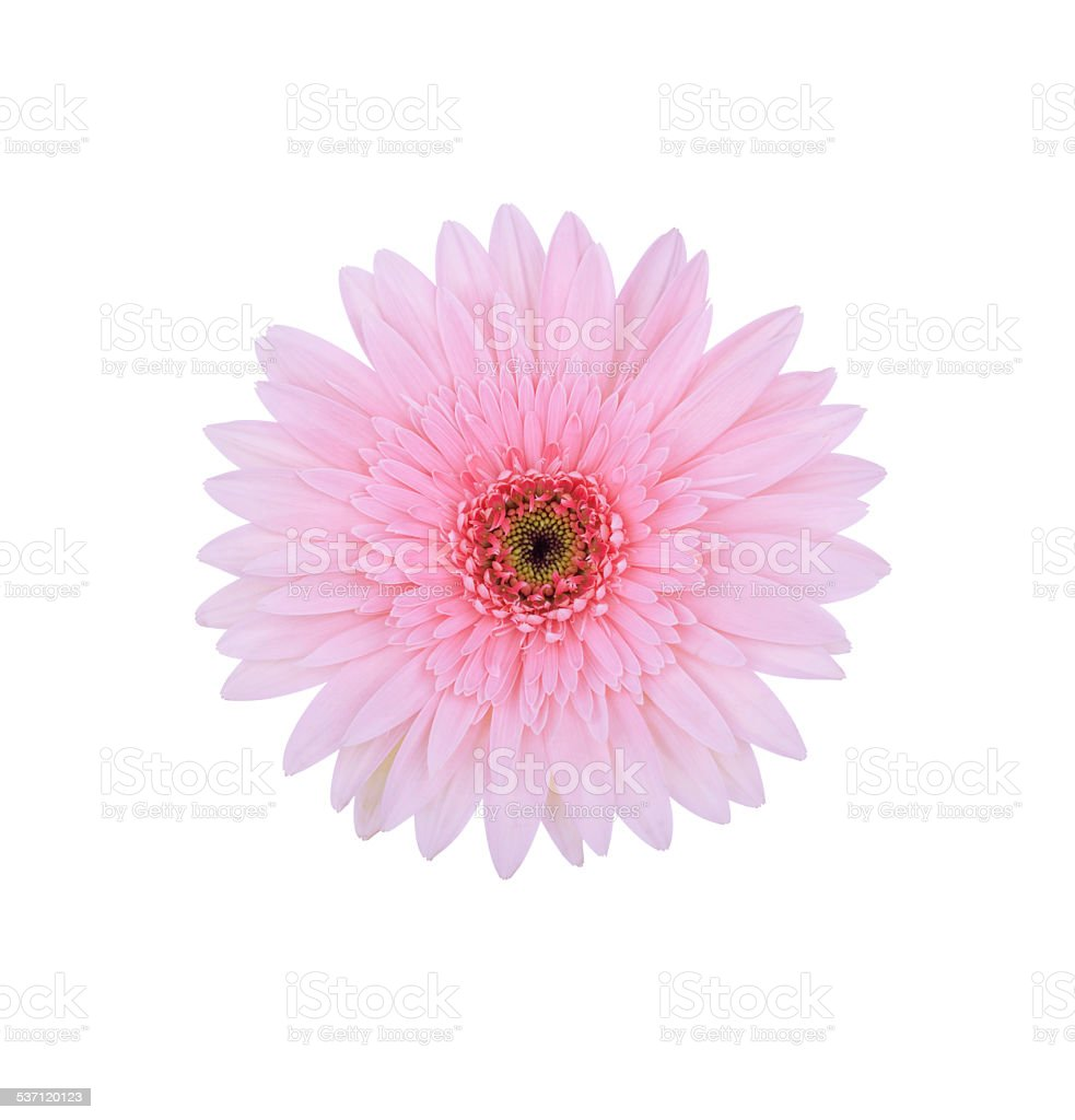 Pink Gerbera daisy isolated on white stock photo