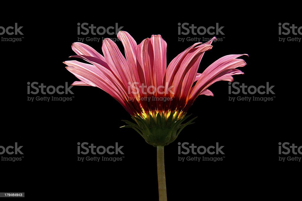 Pink Gerbera daisy on isolated Black background royalty-free stock photo