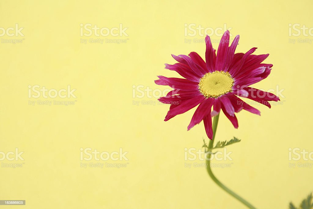 Pink Gerbera Daisy on Yellow royalty-free stock photo