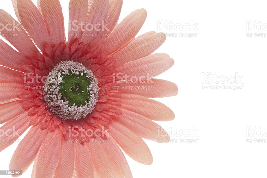 Pink Gerbera Daisy, Petal, Delicate, Isolated on White, Copyspace royalty-free stock photo