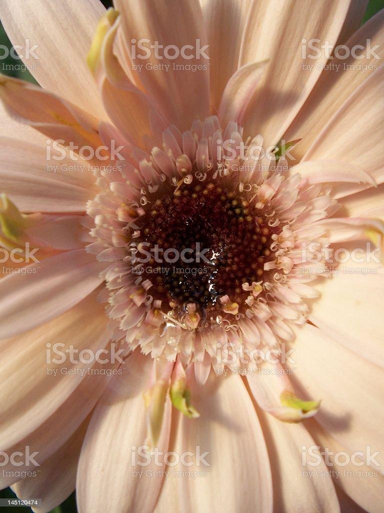 Pink Gerbera Daisy royalty-free stock photo