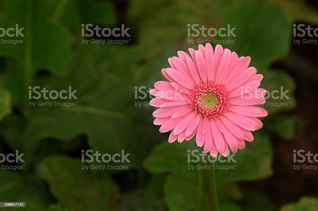 Pink gerbera daisy stock photo