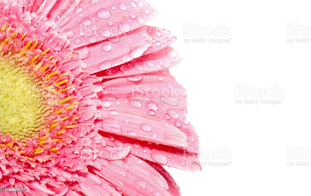 Pink gerbera flower close up with dew drops stock photo