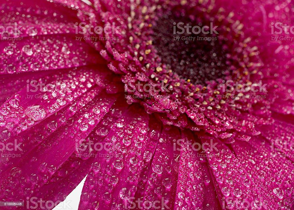 Pink gerbera flower on white stock photo