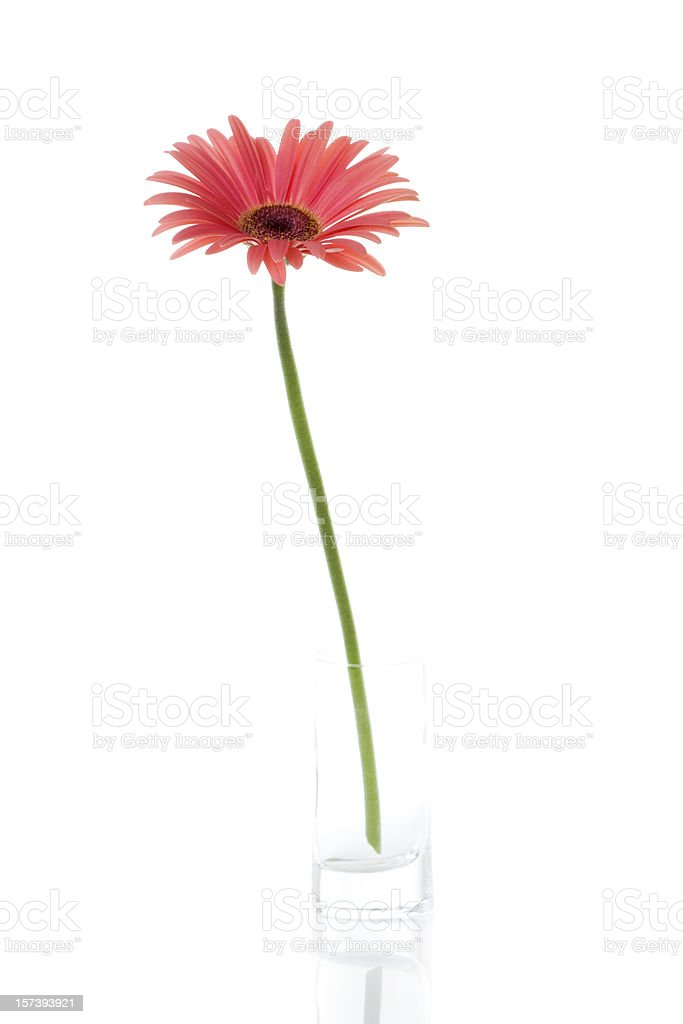 Pink Gerbera in Small Vase royalty-free stock photo