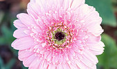 Pink gerbera in the garden.