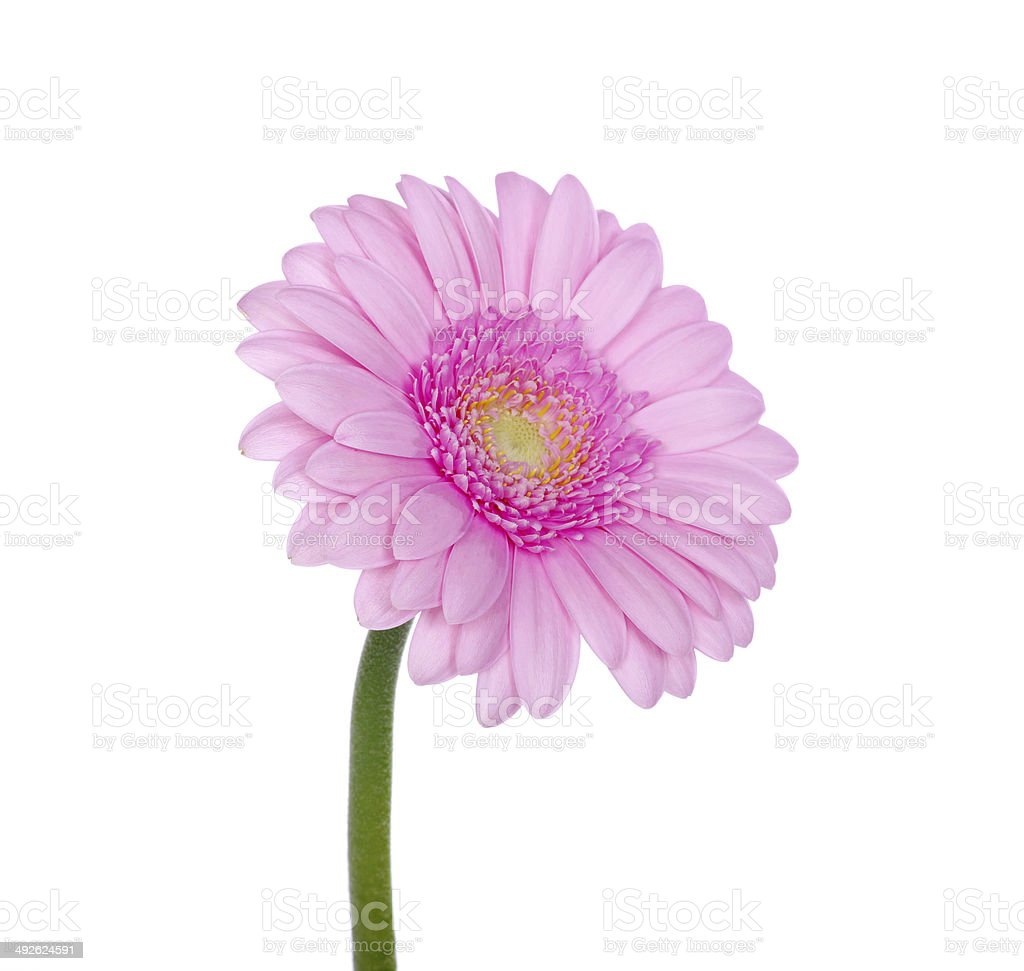 Pink gerbera royalty-free stock photo