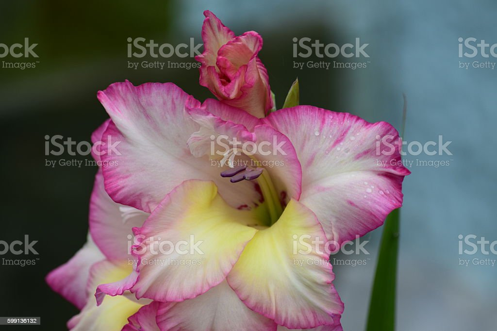 Pink Gladiolus Flower and bud stock photo