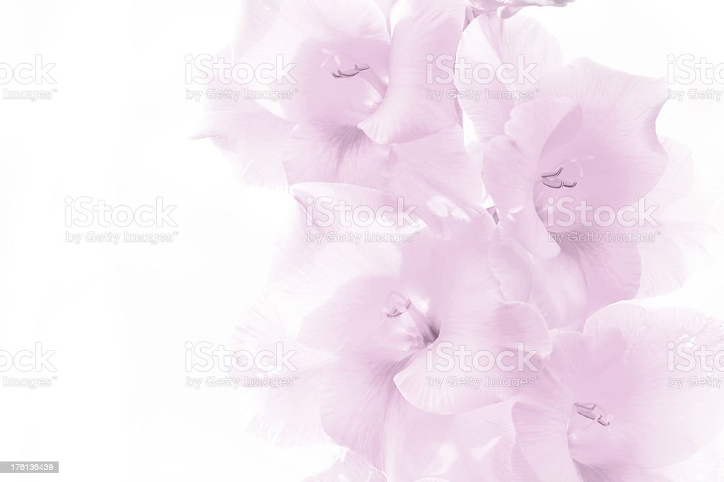 Pink gladiolus flowers on white background royalty-free stock photo