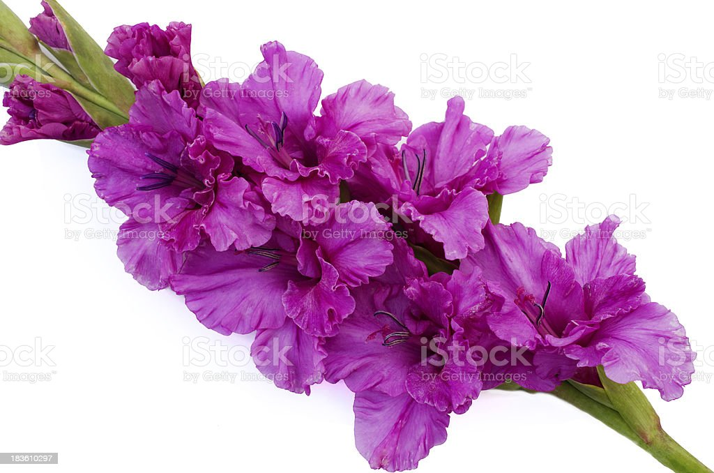 pink gladiolus is on white background royalty-free stock photo