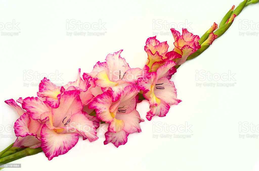 pink gladiolus is on white background stock photo