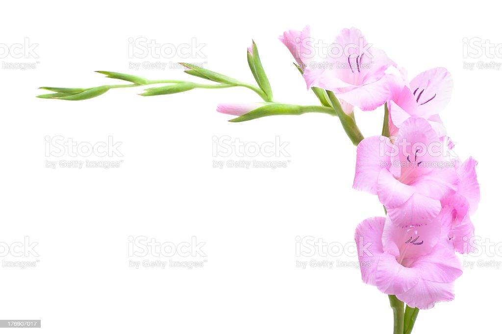 Pink gladiolus isolated on white royalty-free stock photo