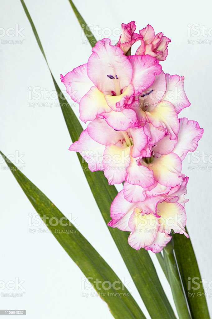 Pink Gladiolus stock photo