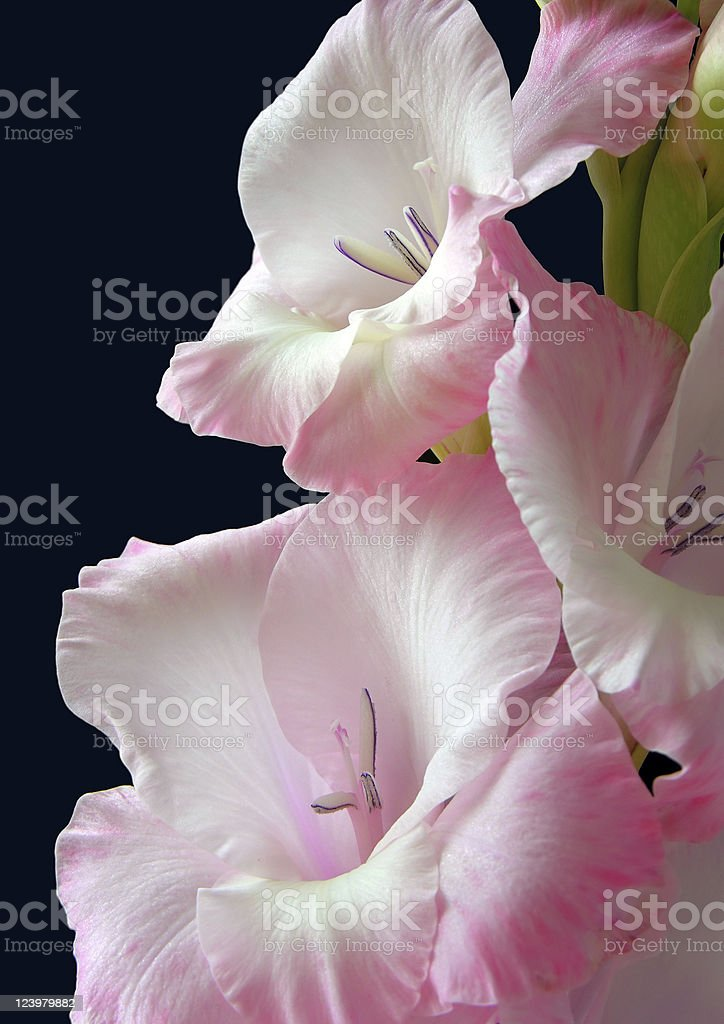 pink gladiolus royalty-free stock photo