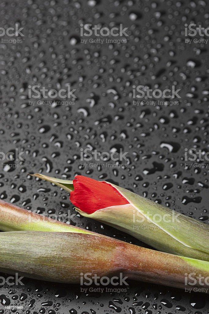 Pink gladiolus royalty-free stock photo