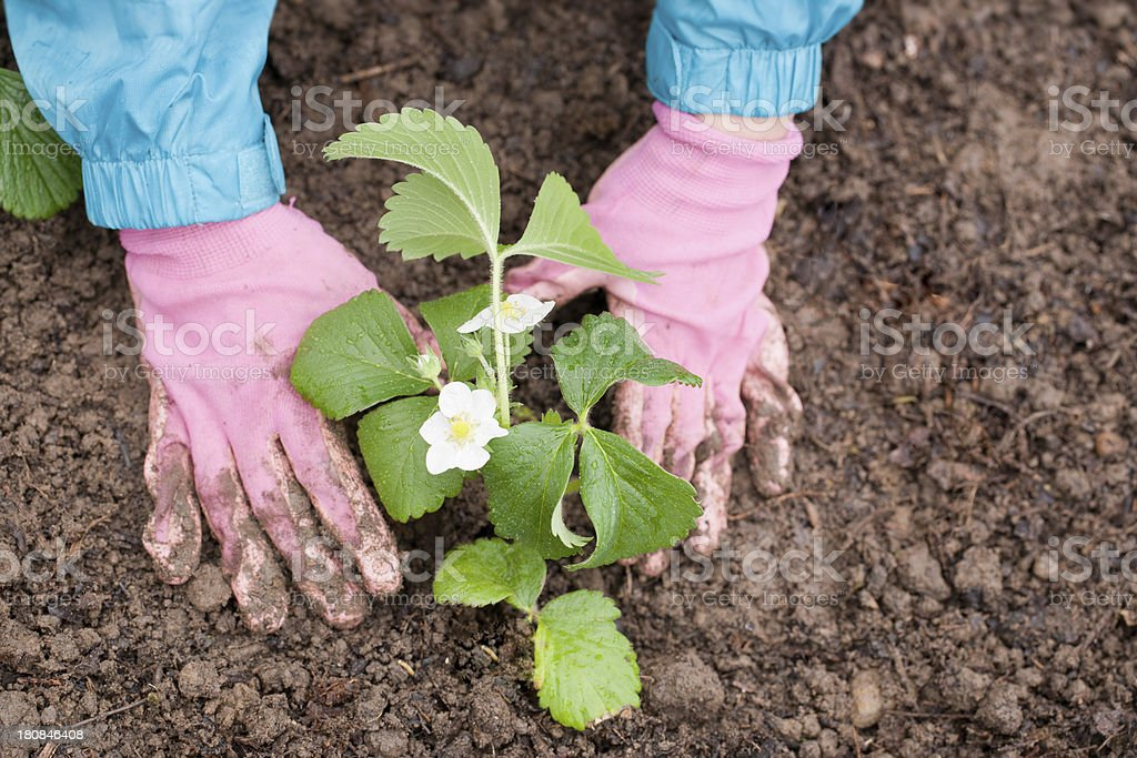 Pink gloved planting royalty-free stock photo