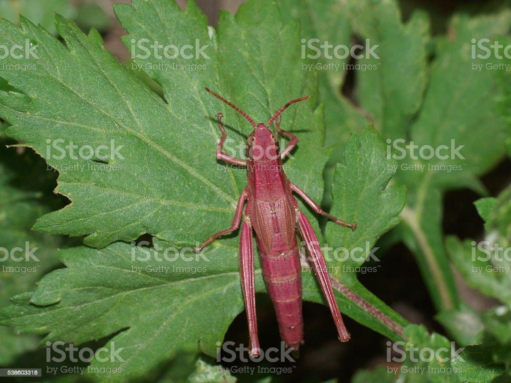Pink grasshopper. Katydid pink. Chrysochraon dispar stock photo