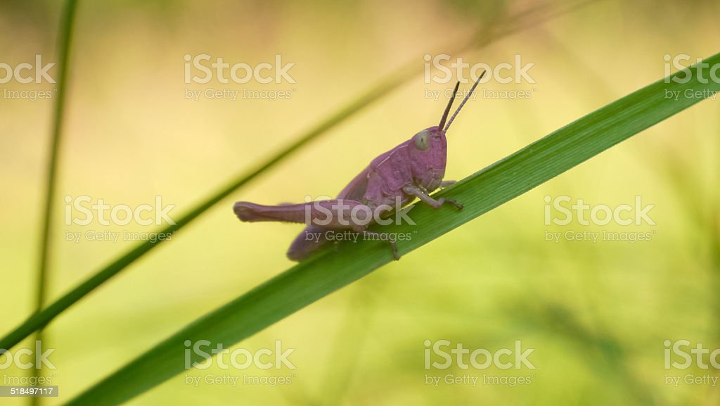 Pink grasshopper on a blade of grass royalty-free stock photo