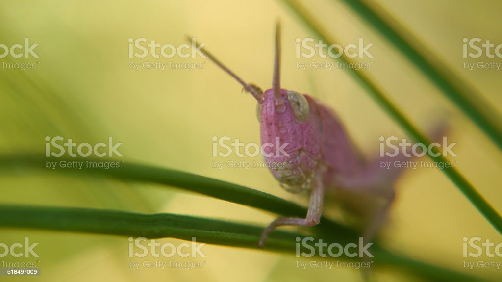 Pink grasshopper on grass royalty-free stock photo