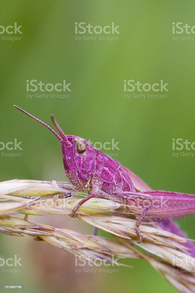 Pink Grasshopper royalty-free stock photo