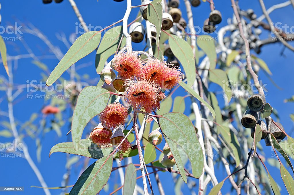 Pink gum tree flowers being visited by a bees stock photo
