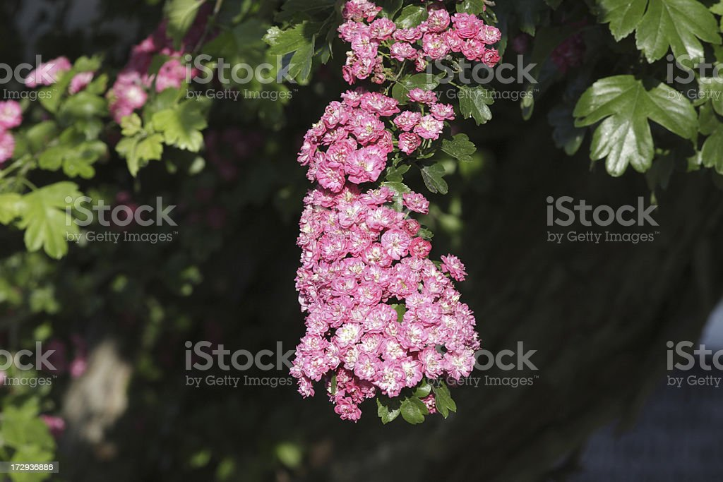 Pink hawthorn blossom may in spring Paul's Scarlet Crataegus laevigata royalty-free stock photo