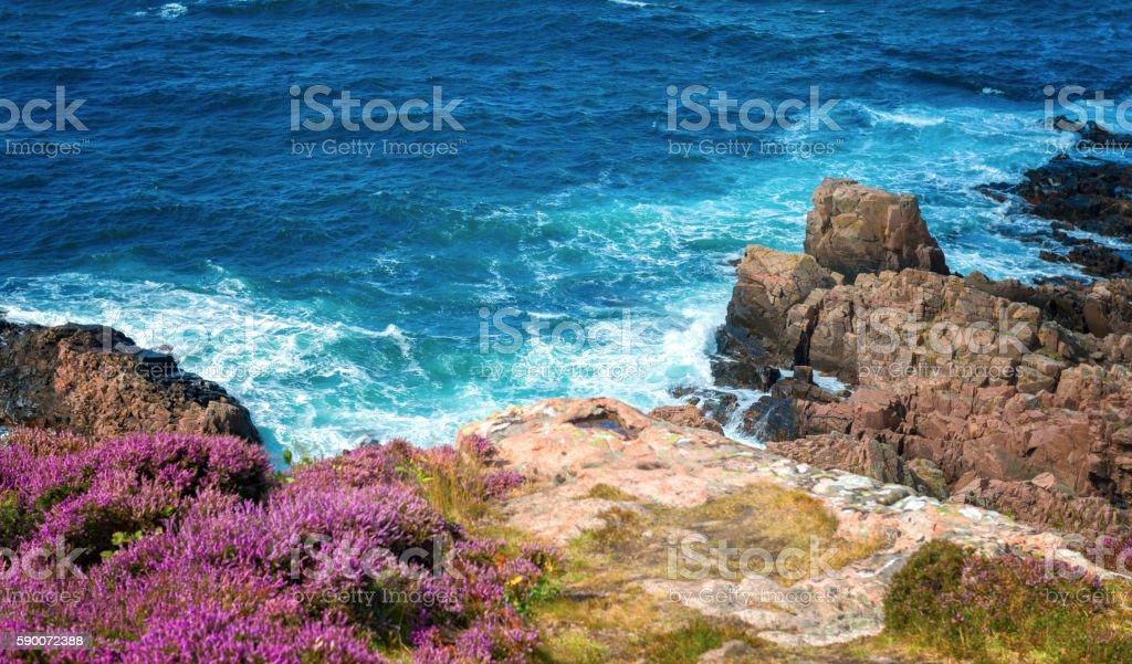 Pink Heather at rocky coastline stock photo