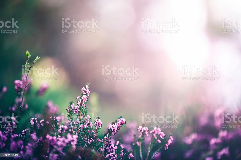 Pink Heather stock photo