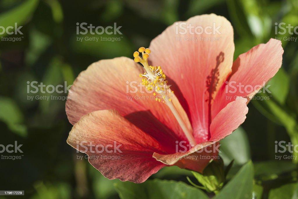 Pink hibicus flower royalty-free stock photo