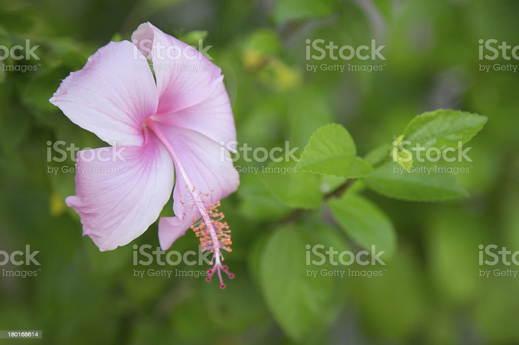 pink hibicus flower royalty-free stock photo