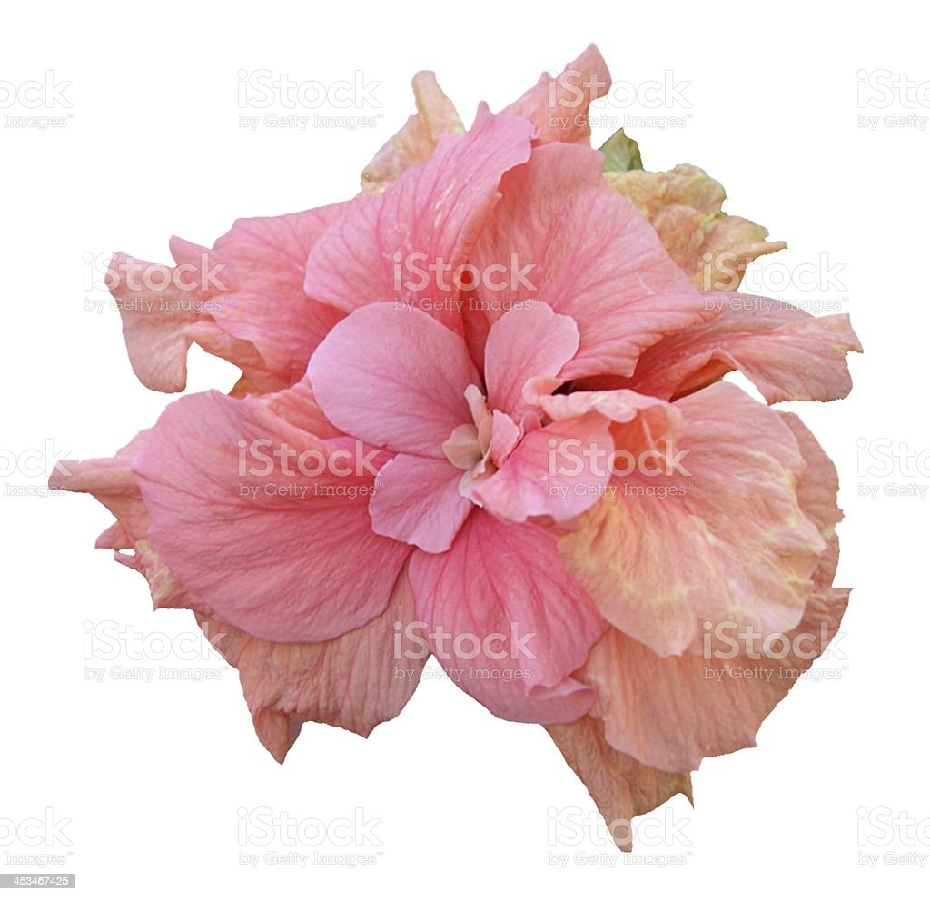 Pink Hibiscus Flower Isolated on White royalty-free stock photo