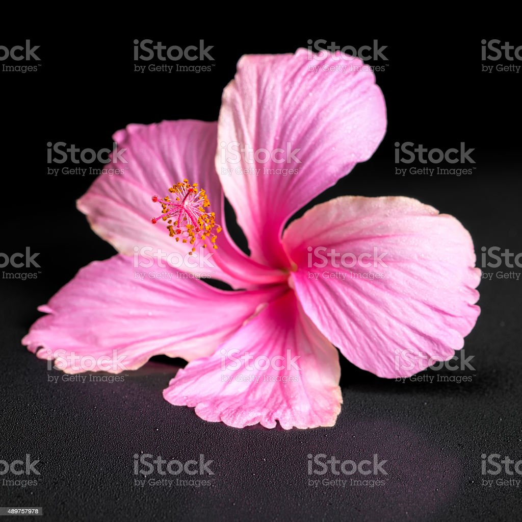 Pink hibiscus flower on black background with drops closeup stock pink hibiscus flower on black background with drops closeup royalty free stock photo izmirmasajfo