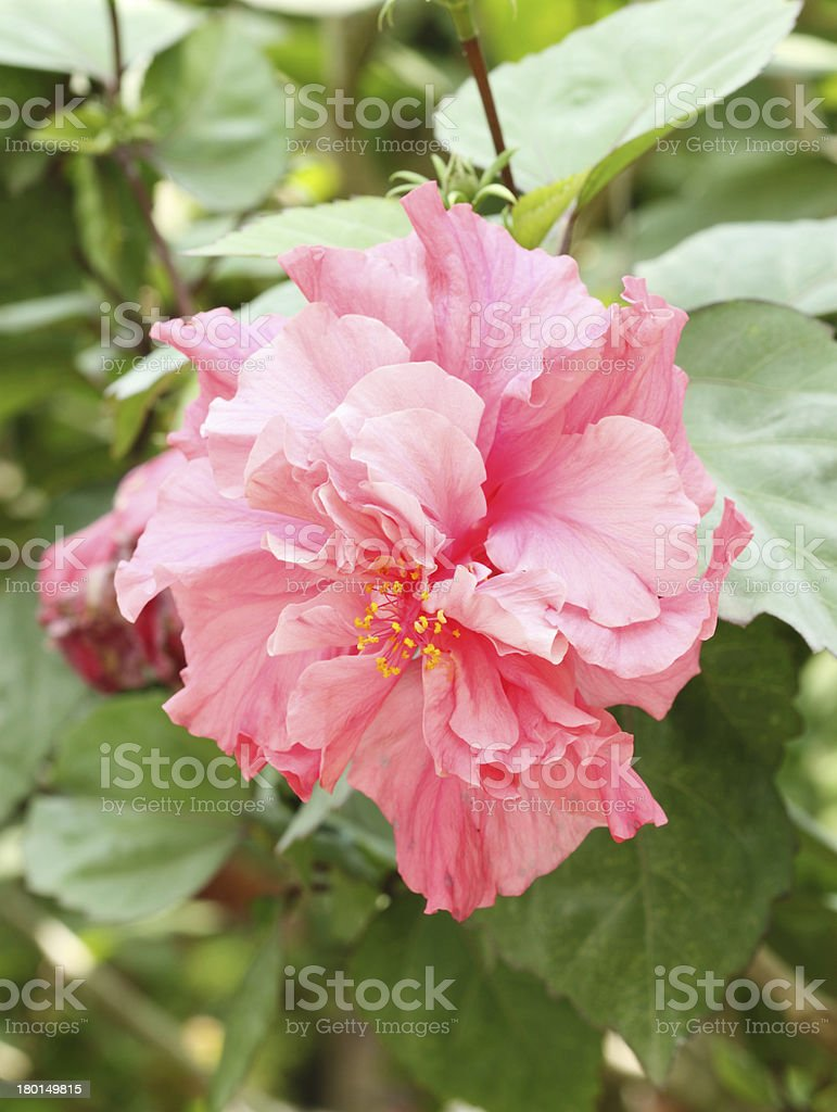 pink hibiscus flower (Malvaceae, mallow family) royalty-free stock photo