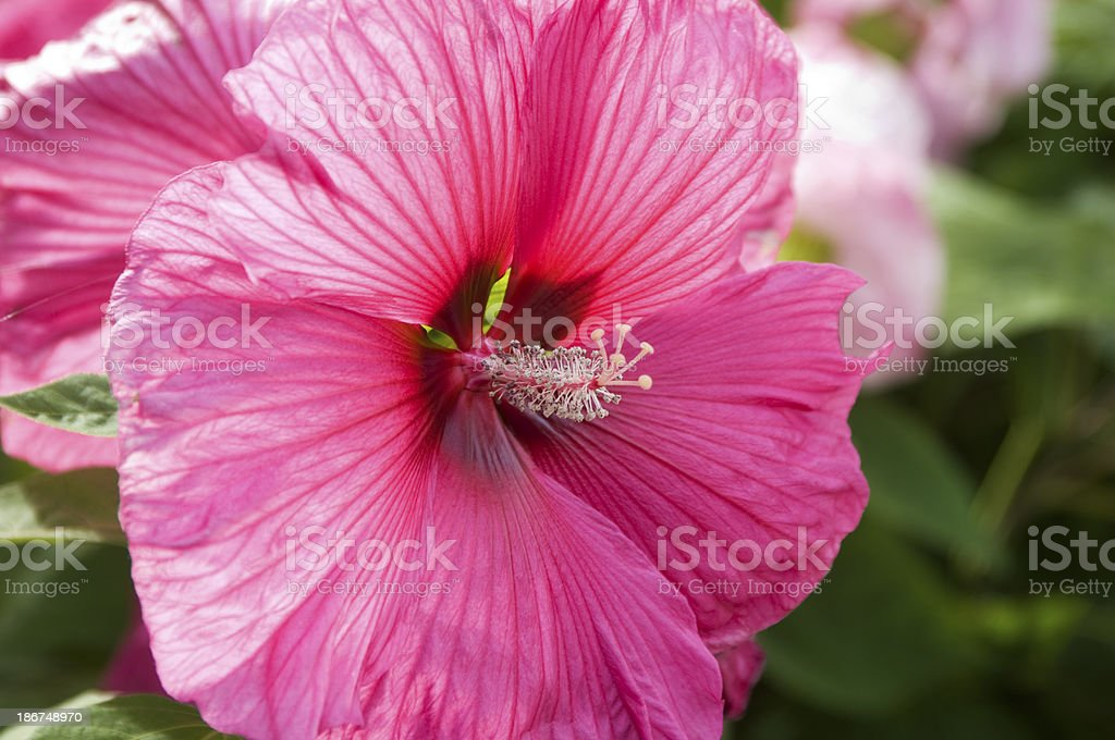 Pink Hibiscus Flower royalty-free stock photo