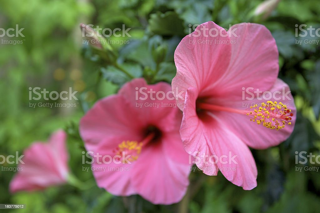 Pink hibiscus flowers stock photo