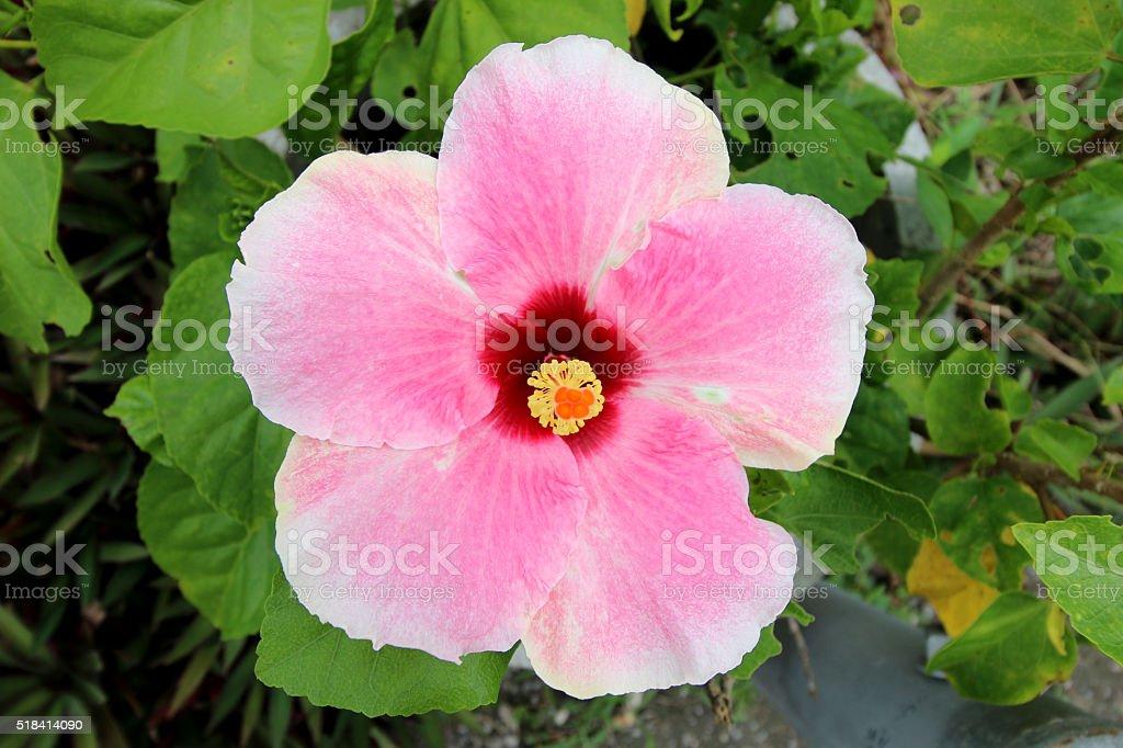 Pink hibiscus flowers stock photo