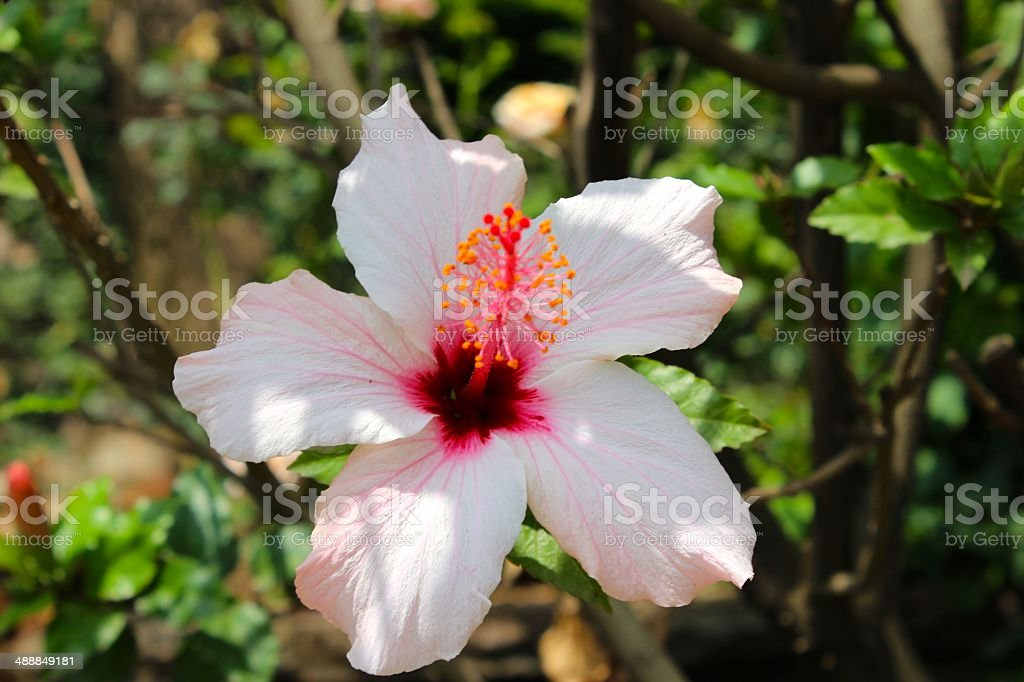 Pink Hibiscus in Addis Ababa royalty-free stock photo