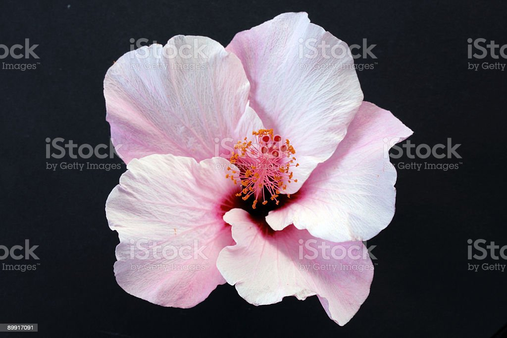 Pink hibiscus isolated on the black background royalty-free stock photo