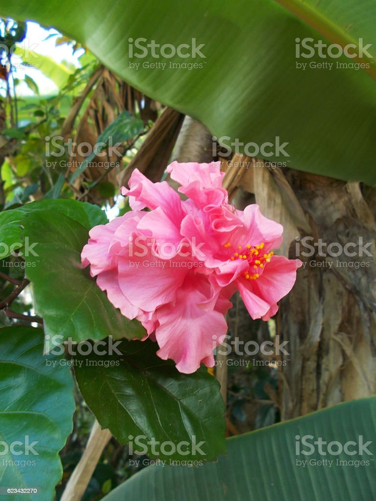 pink hibiscus on the tree stock photo