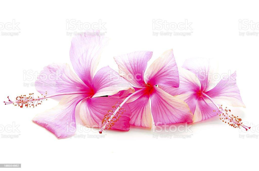 pink Hibiscus royalty-free stock photo