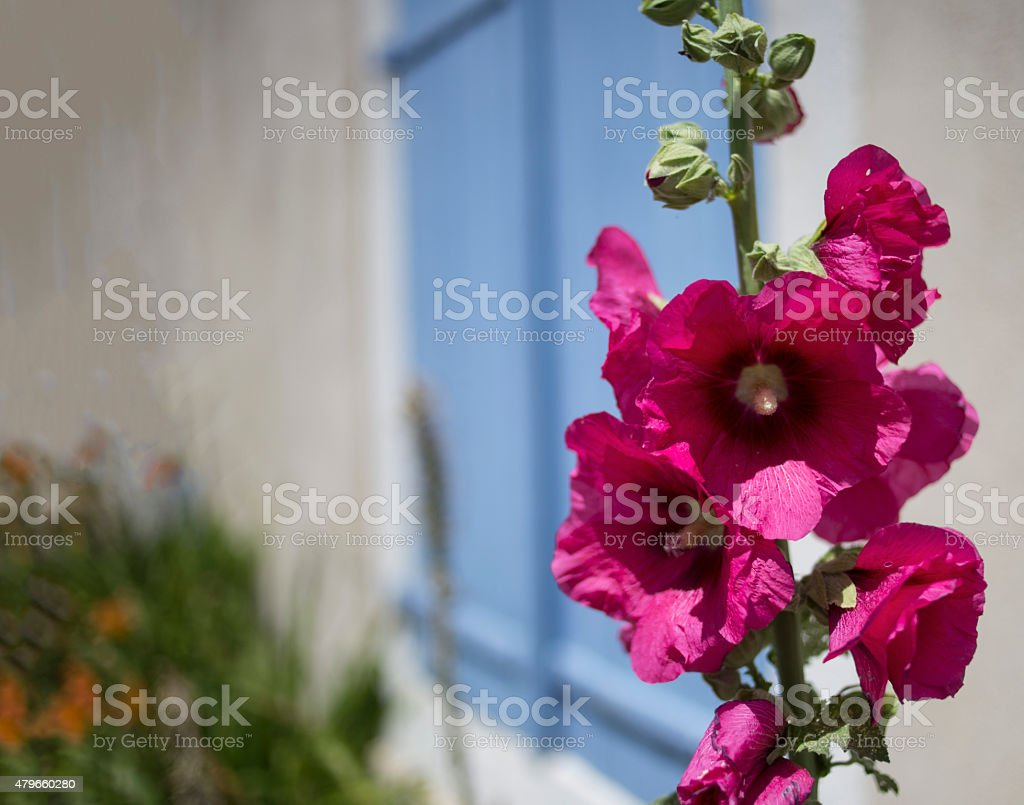 Pink hollyhock and blue shutters stock photo