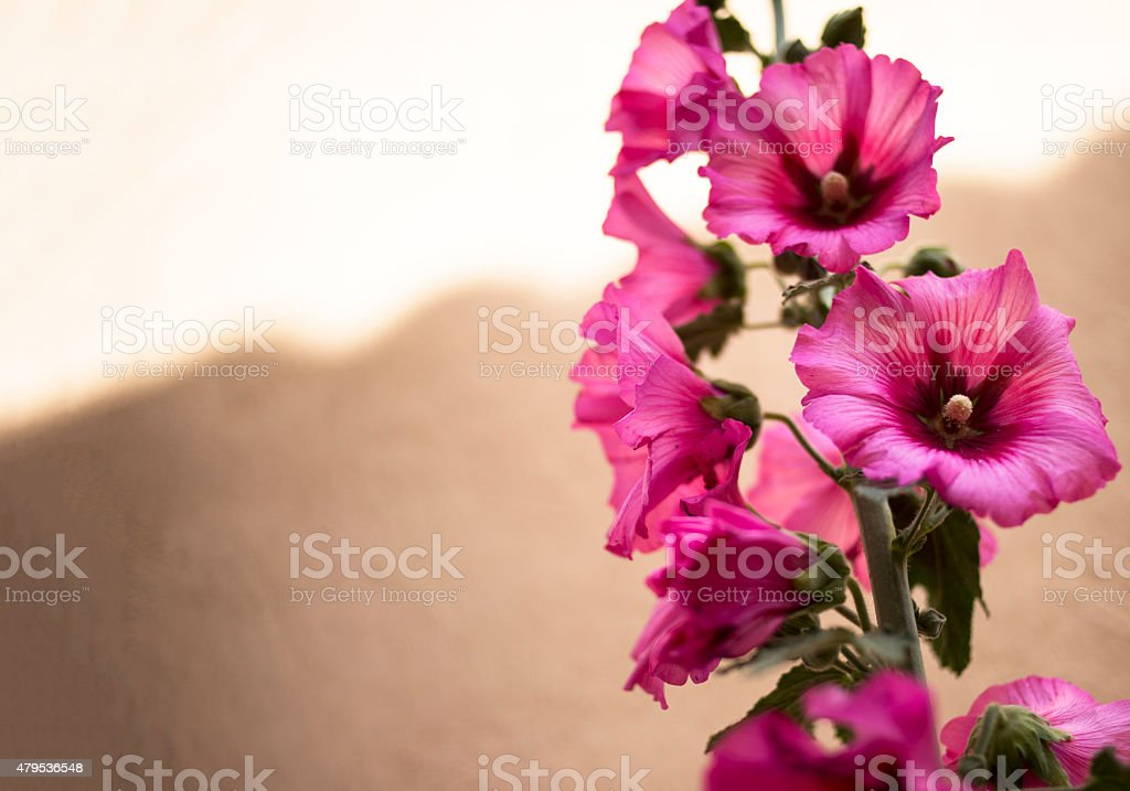 Pink hollyhock by an ocre wall stock photo