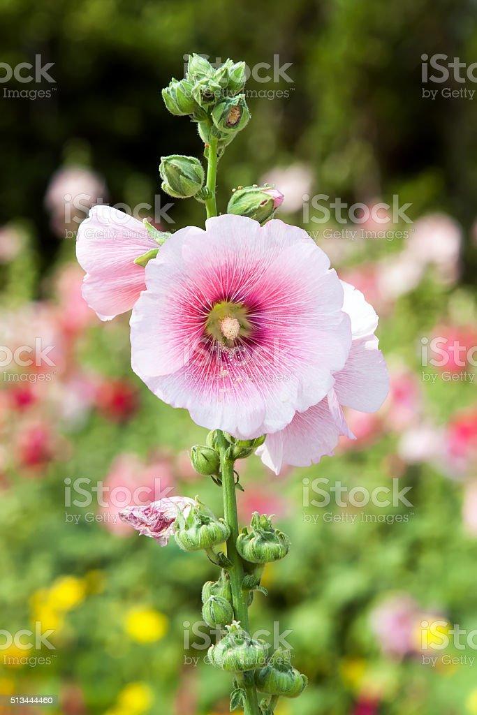 Pink hollyhock flower in the garden stock photo
