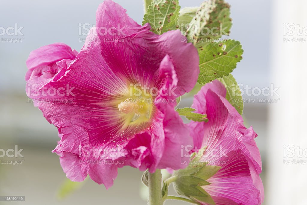 Pink hollyhock with rust spots on leaf. stock photo